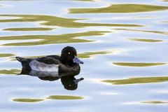 Tufted Duck swimming - Bedfont Lakes Country Park. London Royalty Free Stock Photo