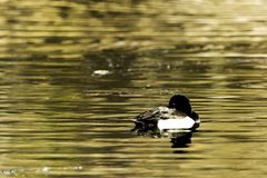 Tufted Duck swimming - Bedfont Lakes Country Park. London Stock Photography