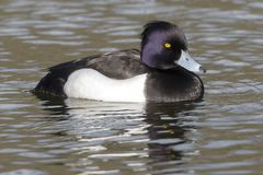 A tufted duck on the Cemetery Lake, Southampton Common. A Tufted duck swimming on the Cemetery Lake, Southampton Common royalty free stock photo