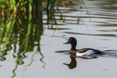 Tufted duck. Swimming in to reeds Royalty Free Stock Image