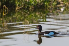 Tufted duck swimming. At the waters edge Stock Images