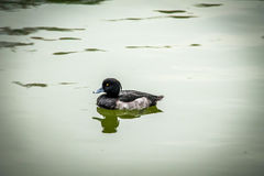 Tufted duck - Tokyo, Japan Royalty Free Stock Photography