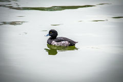 Tufted duck - Tokyo, Japan. Tufted duck in Tokyo, Japan Stock Images