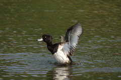 Tufted duck on water. Male tufted duck on water , Aythya fuligula Stock Images