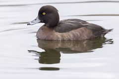 A tufted duck on the water stock image