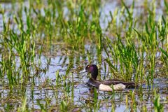Tufted Duck. Who swimming among water plants Royalty Free Stock Photography