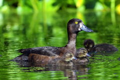 Tufted duck. Wild duck with ducklings among the thickets lake Stock Image