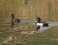 Tufted ducks Stock Photos