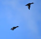 Tufted ducks flying Royalty Free Stock Photo