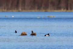 Tufted ducks Stock Image