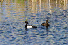 Tufted ducks Royalty Free Stock Photography