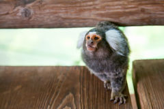 Tufted-ear marmoset Royalty Free Stock Photo