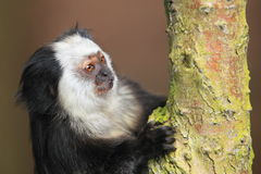 Tufted-ear marmoset Royalty Free Stock Photography