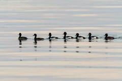 Tufted Eenden die op een rij zwemmen Royalty-vrije Stock Afbeelding