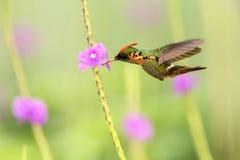 Tufted flörtLophornis ornatus som i flykten svävar bredvid den violetta blomman, fågel, caribean Trinidad och Tobago arkivbild