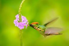 Tufted Flirt, kleurrijke kolibrie met oranje kam en kraag in de groene en violette bloemhabitat Vogel die naast pi vliegen stock foto's