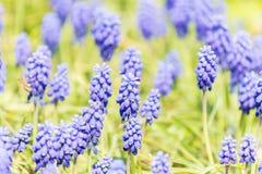 Tufted Grape Hyacinth Purple Flower Field Royalty Free Stock Photo