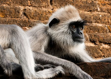 Tufted gray langur. Emotional  tufted gray langur (semnopithecus priam) from srilanka Royalty Free Stock Photo