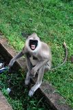 Tufted gray langur expressing agression. Sri Lanka stock photo