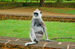 Tufted Gray Langur Royalty Free Stock Images