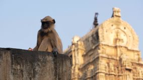 Tufted Gray Langur stock video footage