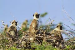 Tufted grijze langur in het nationale park van Bundala, Sri Lanka Stock Afbeelding