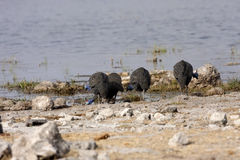 Tufted guineafowl, Numida meleagris mitratus,in Etosha National Park, Namibia Stock Photos