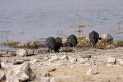 Tufted guineafowl, Numida meleagris mitratus,in Etosha National Park, Namibia. The Tufted guineafowl, Numida meleagris mitratus,in Etosha National Park, Namibia Stock Photos
