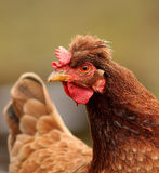 Tufted hen portrait Stock Photos