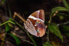 Tufted Jungleking Thauria aliris butterfly stock photo