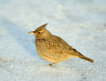Tufted lark. Over the snow background Royalty Free Stock Photo
