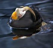 Tufted Papegaaiduiker die en Alaska zwemt rust royalty-vrije stock afbeelding