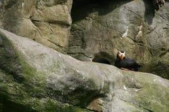 Tufted papegaaiduiker, die op rotsachtige richel nestelt stock afbeelding