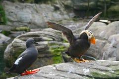 Tufted papegaaiduiker, klappende vleugels Stock Fotografie