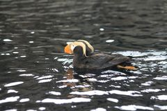 Tufted Papegaaiduiker op zwemt Stock Fotografie