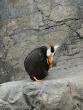 Tufted puffin, Royalty Free Stock Images