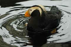Tufted Puffin Royalty Free Stock Image