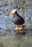 Tufted puffin Royalty Free Stock Photography