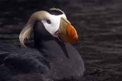 Tufted Puffin. Cllose up of a Tufted Puffin stock images