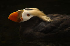 Tufted Puffin. Portrait of a tuffed puffin swimming Stock Photos
