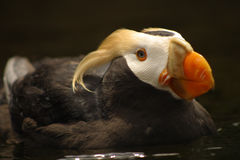 Tufted Puffin. Puffin Portrait Royalty Free Stock Photo