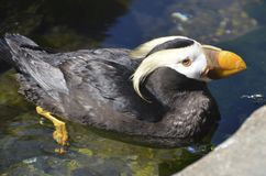 Tufted puffin at an aquarium Royalty Free Stock Image