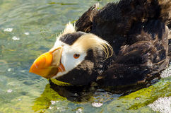 Tufted Puffin Closeup Stock Photos