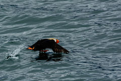 Tufted puffin in flight Royalty Free Stock Images