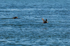Tufted puffin fly with a fish in its beak over Pacific Ocean. Stock Photography