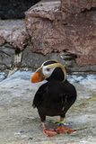 The tufted puffin Royalty Free Stock Images