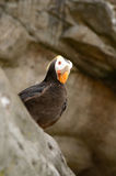Tufted Puffin Royalty Free Stock Images