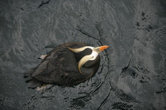 Tufted puffin, Fratercula cirrhata Royalty Free Stock Photography