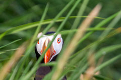 the Tufted Puffin In the grass  (Lunda cirrhata) 2 Royalty Free Stock Photography