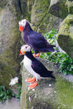 Tufted Puffin and Horned Puffin. Tufted Puffin (Lunda cirrhata) and Horned Puffin (Fratercula corniculata) in the far east of Russia. (Commander Islands royalty free stock photography
